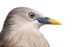 Nahaufnahme auf einem Kastanie-angebundenen Starling, Seitenansicht Lizenzfreie Stockfotos