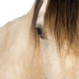 Nahaufnahme auf einem Pferd Stockbilder
