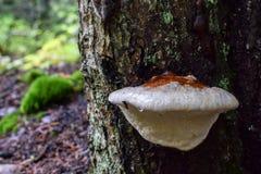 Nahaufnahme auf einem wilden Pilz, der auf der Seite eines Baums wächst lizenzfreie stockfotos
