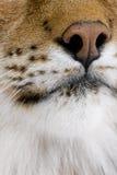 Nahaufnahme auf einer katzenartigen Schnauze - eurasischer Luchs Lizenzfreies Stockfoto