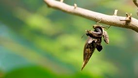 Nahaufnahme, auf einer Niederlassung, unter den Blättern dort ist ein schöner großer Schmetterling Der Schmetterling verbreitet s stock video footage