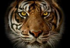 Nahaufnahme auf einfarbigem Porträt des Gesichtes eines Tigers mit akcent auf YE Lizenzfreie Stockbilder