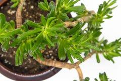 Nahaufnahme auf Finger-Jadeanlage Stockbild