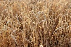 Nahaufnahme auf goldenem Weizenfeld am sonnigen Sommer Stockbilder