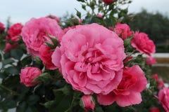 Nahaufnahme auf großen rot-rosa Rosen im Garten Stockfotografie