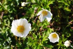 Nahaufnahme auf weißen Blumen im Frühjahr oder Sommergarten lizenzfreies stockfoto