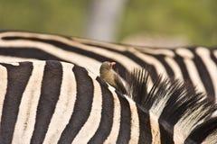 Nahaufnahme auf Zebrahaut, Nationalpark Kruger, Südafrika lizenzfreies stockfoto