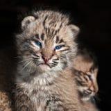 Nahaufnahme Baby-Bobcat Kits (Luchs rufus) Stockbild