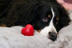Nahaufnahme-Berner Sennenhund, der auf beige Bett nahe rotem Herzen als Symbol der Liebe liegt Valentinstag und das DA der intern stockbilder