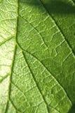 Nahaufnahme-Beschaffenheit des grünen Blattes Lizenzfreies Stockbild