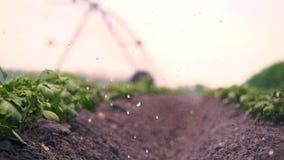 Nahaufnahme Bewässerungsprozeß, wenn Kartoffeln im Boden, in den Reihen, auf landwirtschaftlichem Feld angebaut werden Kleine grü stock video footage