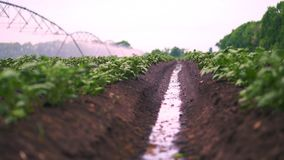 Nahaufnahme Bewässerungsprozeß, wenn Kartoffeln im Boden, in den Reihen, auf landwirtschaftlichem Feld angebaut werden kleine grü stock video