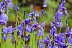 Nahaufnahme blühender purpurrotes Iris sibirica sibirian Iris im Frühjahr mit Regentropfen vor natürlichem grünem Hintergrund Stockfotografie