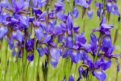 Nahaufnahme blühender purpurrotes Iris sibirica sibirian Iris im Frühjahr vor natürlichem grünem Hintergrund Stockbild