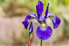 Nahaufnahme blühender purpurrotes Iris sibirica sibirian Iris mit weniger Fliege vor natürlichem grünem und braunem Hintergrund Stockfoto