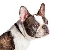 Nahaufnahme-blindes Profil-französische Bulldogge Lizenzfreies Stockbild