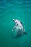 Nahaufnahme bottlenosed den Delphin, der heraus schaut stockfotografie