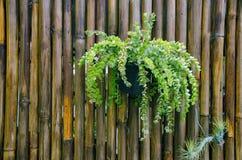 Nahaufnahme Bromelie oder Aechmea-fasciata mit Bambusbeschaffenheit backg Lizenzfreie Stockfotografie