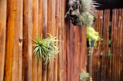 Nahaufnahme Bromelie oder Aechmea-fasciata mit Bambusbeschaffenheit backg Stockbild