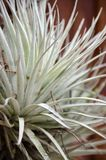Nahaufnahme Bromelie oder Aechmea-fasciata mit Bambusbeschaffenheit backg Lizenzfreie Stockfotos