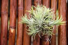 Nahaufnahme Bromelie oder Aechmea-fasciata mit Bambusbeschaffenheit backg Stockbilder