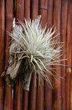 Nahaufnahme Bromelie oder Aechmea-fasciata mit Bambusbeschaffenheit backg Stockfotos