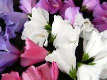Nahaufnahme bunten Hibiscus syriacus blüht im Biogarten Stockbild