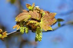 Nahaufnahme der Ahorn-Blume an der Blüte Stockfoto