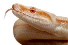 Nahaufnahme der Albino-Boa constrictor Stockfoto