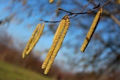 Nahaufnahme der allgemeine Haselnuss oder mehrfache gelbe Weidenkätzchen der Corylus Avellana Lizenzfreie Stockbilder