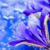 Nahaufnahme der auffälligen malerischen hellen Irisblume auf blauem Hintergrund, bokeh, Blumengrußkarte zum ganzem wunderbaren Lizenzfreie Stockfotos