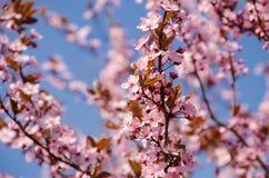 Nahaufnahme der Azalee-Blume Stockbilder