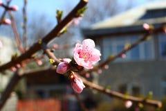 Nahaufnahme der Azalee-Blume Stockfotos