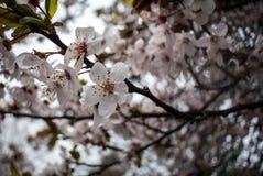 Nahaufnahme der Azalee-Blume Lizenzfreies Stockfoto
