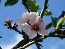 Nahaufnahme der Azalee-Blume Lizenzfreie Stockfotos