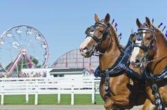 Nahaufnahme der belgischen Entwurfs-Pferde am Land angemessen Stockbilder