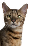 Nahaufnahme der Bengal-Katze, 6 Monate alte Stockbild