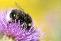 Nahaufnahme der Biene auf Blume Stockbild