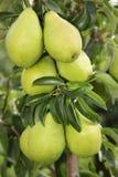 Nahaufnahme der Birnen, die vom Baum hängen Lizenzfreie Stockfotografie