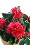 Nahaufnahme der blühender Pflanze der Azalee im Topf Lizenzfreies Stockfoto