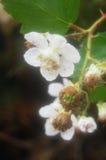 Nahaufnahme der Blüte auf wildem Beerenbusch lizenzfreie stockbilder