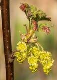 Nahaufnahme der Blüten der roten Johannisbeere Lizenzfreie Stockbilder