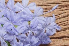 Nahaufnahme der blauen Bleiwurz blüht auf hölzernem Hintergrund Lizenzfreies Stockfoto