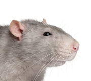 Nahaufnahme der blauen Ratte Lizenzfreies Stockbild