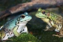 Nahaufnahme der blauen und grünen Frösche Stockfotografie