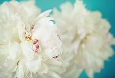 Nahaufnahme der Blumen einer Weißpfingstrose Stockfotos
