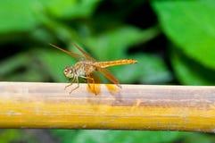 Nahaufnahme der braunen Libelle Stockfotos