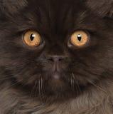Nahaufnahme der britischen langhaarigen Katze Stockbild