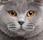 Nahaufnahme der britischen Shorthair Katze Stockfotografie