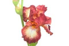 Nahaufnahme der Brown-Blenden-Blumen-Blumenblätter Stockbild